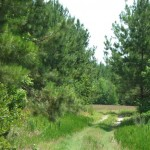 BigHill-PinePlantation1