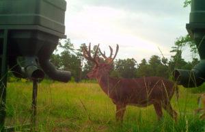An Undisturbed Trophy Buck at the Protein Feeder