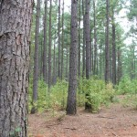Early Rise Ranch - Pine Timber