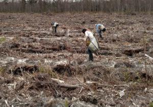Hand Planting Crew w/ Hoedad Tool
