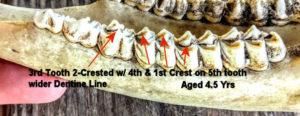 Jawbone of 4.5 Yr Old Deer with Teeth