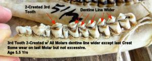 Jawbone of 5.5 Yr Old Deer with Teeth
