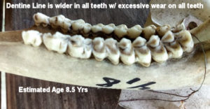 Jawbone Estimated at 8.5 Yrs Old with Dentine Line Wider and Excessive Wear on all Teeth