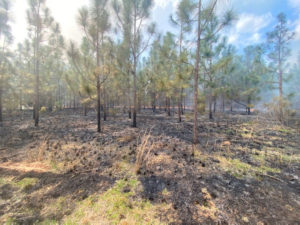 Longleaf Pine Stand after a Prescribed Burn