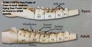 Jawbone of Fawn & Adult Deer