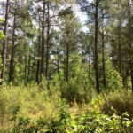 Sycamore Farm - Large Pine Timber