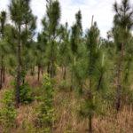 Sycamore Farm - Longleaf Plantation
