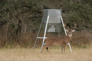 A big white-tailed buck