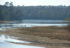 Twin Rivers Preserve - Deer in Altamaha River 2
