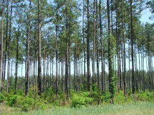 Two Rivers Plantation - Large Pines