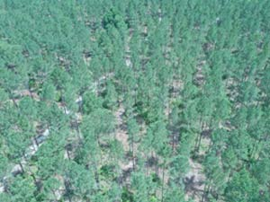 Thinned Timber - Drone View