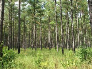 Thinned Stand of Loblolly Pines